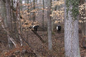 Charlie-and-cows-2013-02-23-004