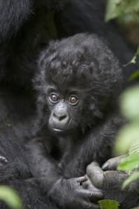 infant-mountain-gorilla-rwanda-suzi-eszterhas