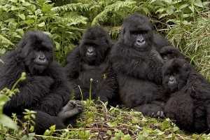 mountain-gorilla-family-in-rwandan-forest-ingo-arndt