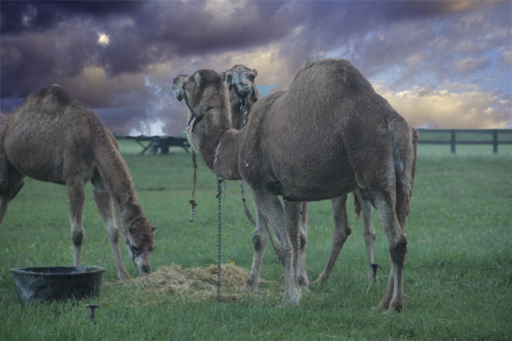 Camels in Fair Hill