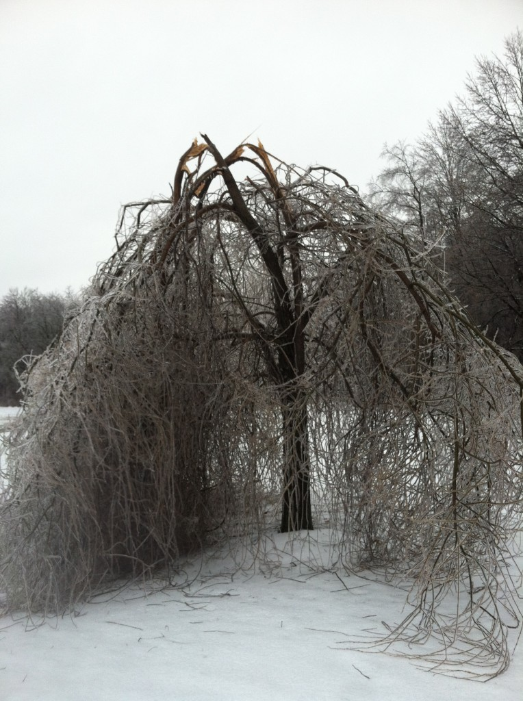 Dead weeping willow tree
