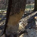 #50 Beaver stump